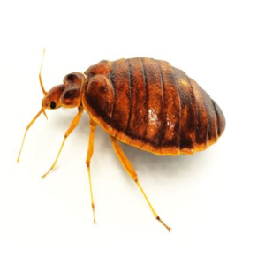 DIY bed bug removal west seneca
